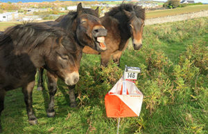 Ponies at O site